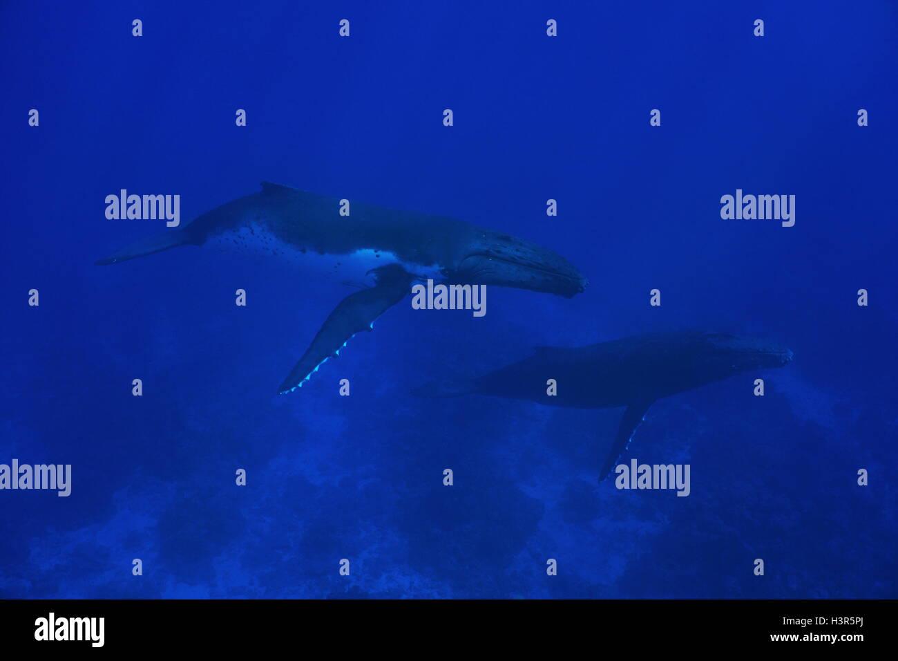 Couple of humpback whale underwater, Megaptera novaeangliae, Pacific ocean, Rurutu island, Austral archipelago, - Stock Image