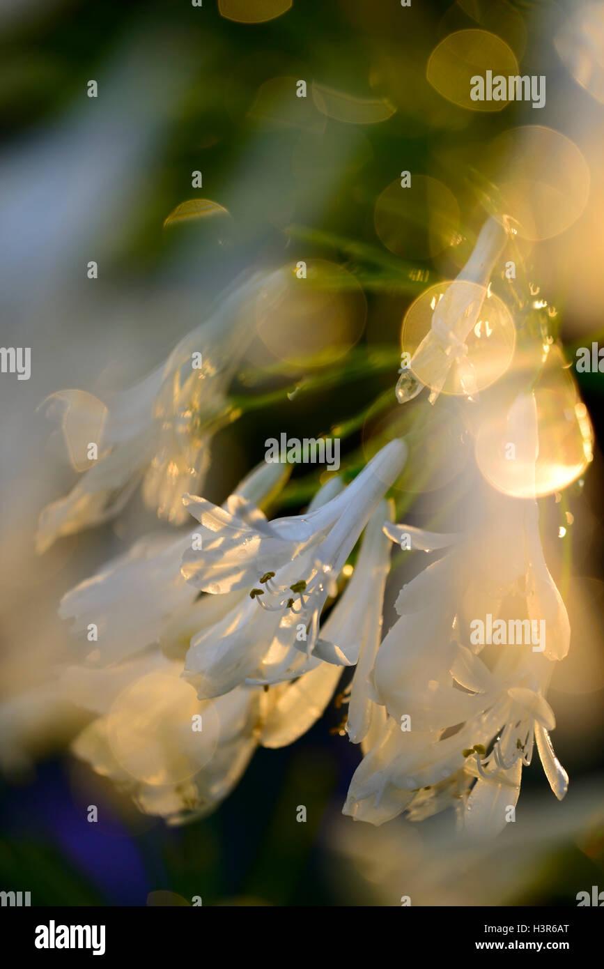 white agapanthus flowers backlit backlighting sunset glow glowing flower flowers flowering perennial RM Floral - Stock Image