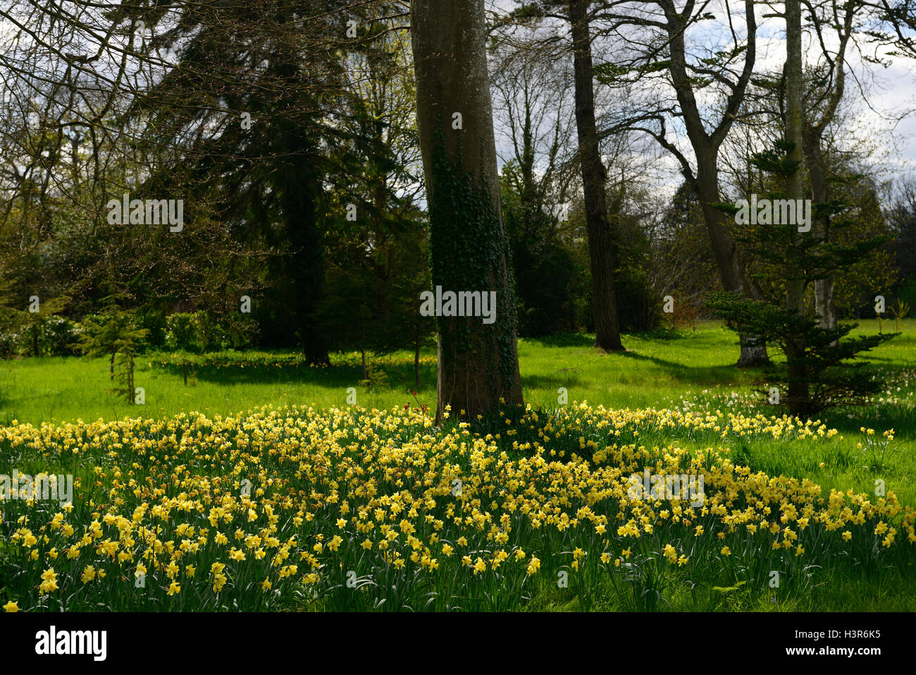 yellow, daffodil, daffodils, carpet, flowers, flowering, flower, spring, lawn, bed, underplanting, underplanted, - Stock Image
