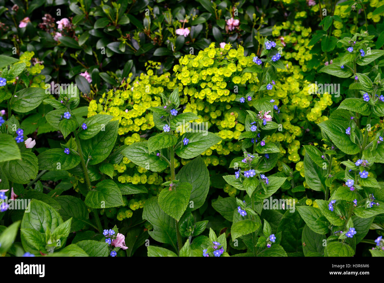 forget me not myosotis sylvatica euphorbia green blue fowers flowering spring RM Floral Stock Photo