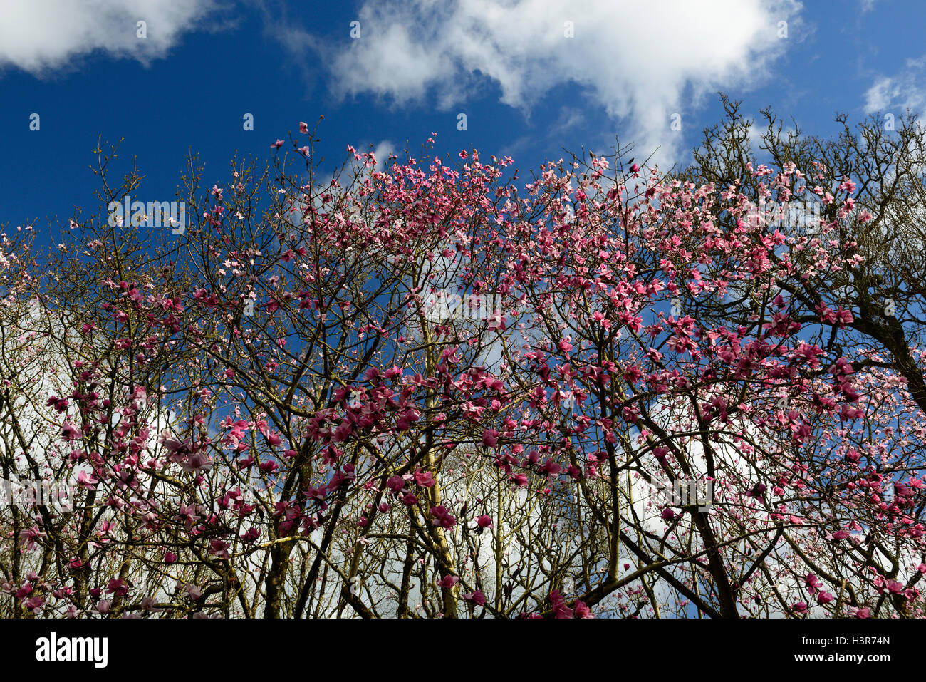 Magnolia campbellii pink flowers flowering trees tree canopy canopies Mount Congreve Gardens Waterford Ireland RM Stock Photo