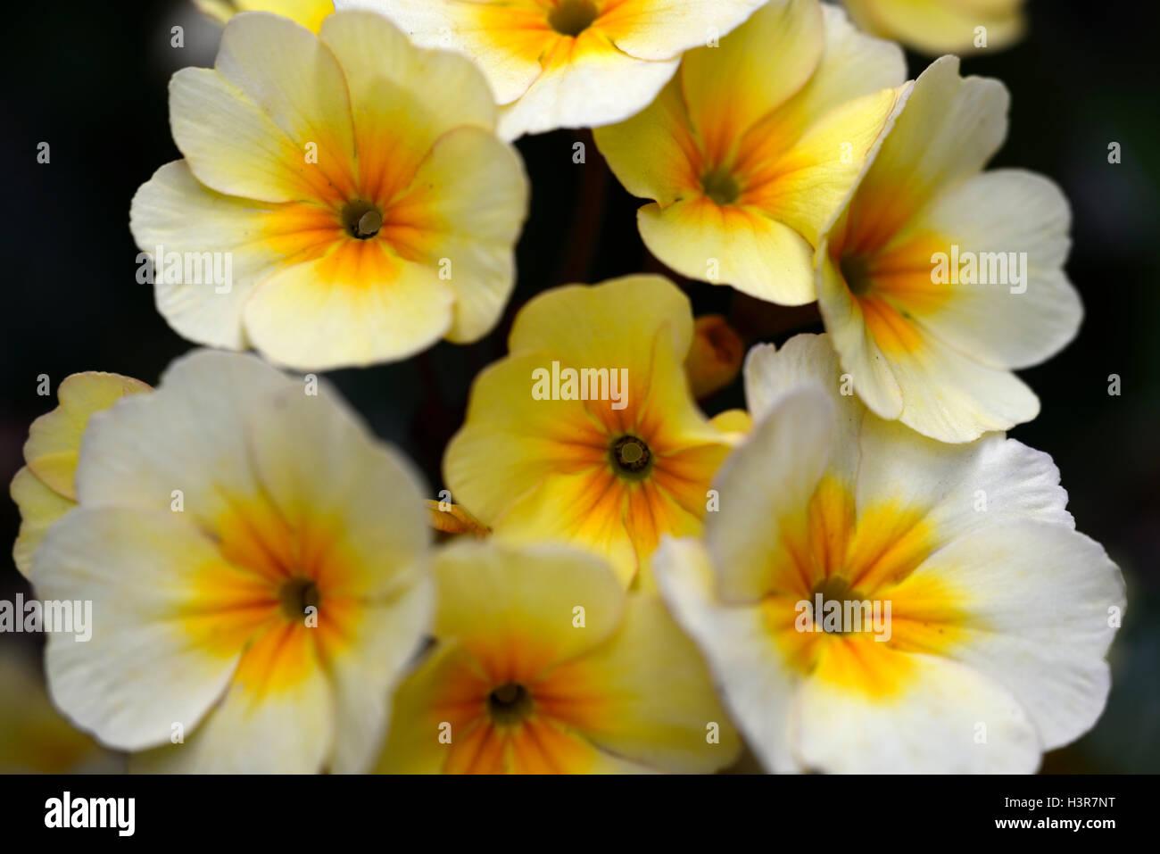 Primula goldnugget yellow primrose primroses spring flower flowers primula goldnugget yellow primrose primroses spring flower flowers flowering rm floral mightylinksfo
