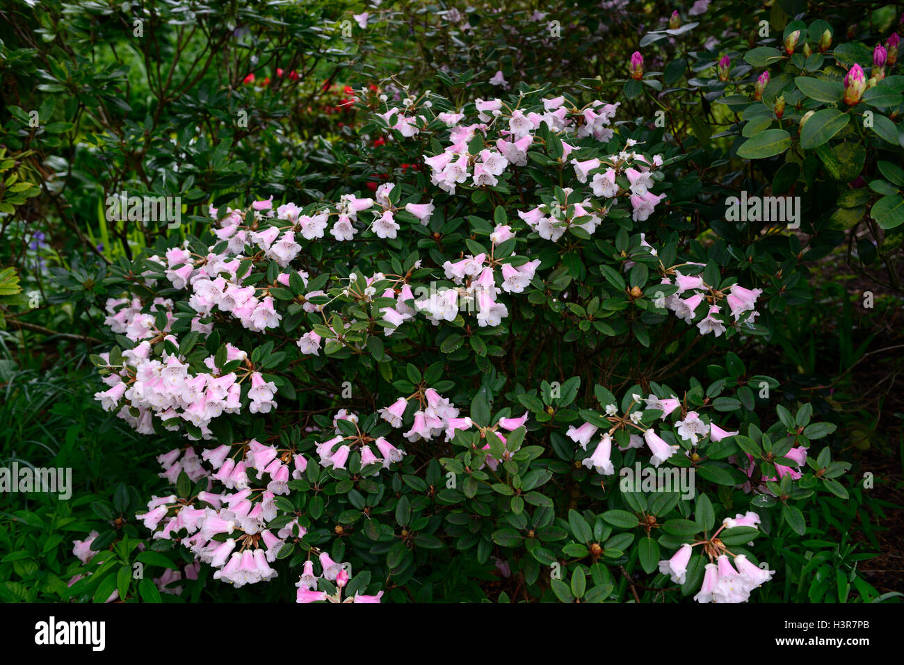 rhododendron pink flowers flowering shrub Altamont Gardens Carlow RM Floral - Stock Image