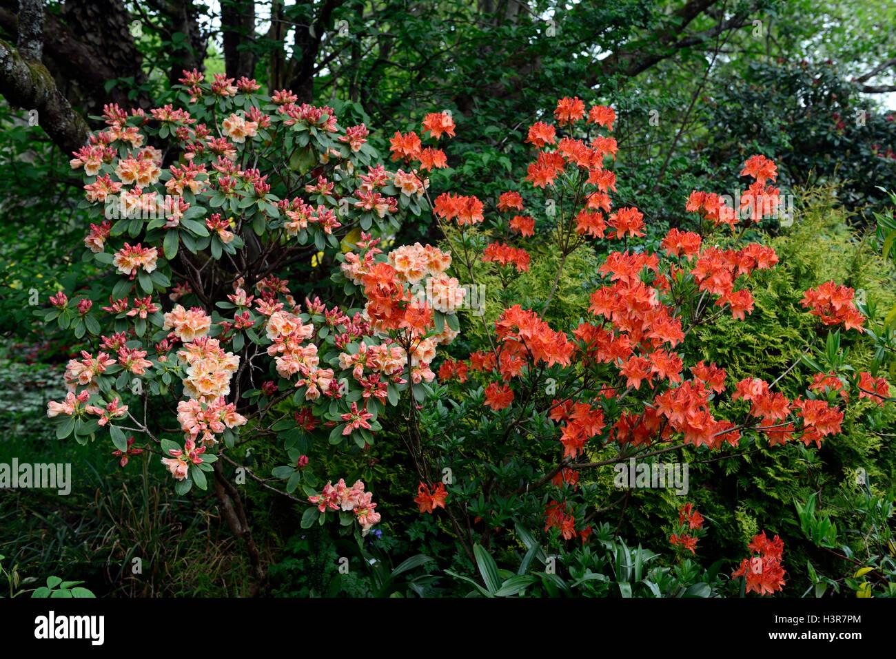 rhododendron orange flowers flowering shrub Altamont Gardens Carlow RM Floral - Stock Image