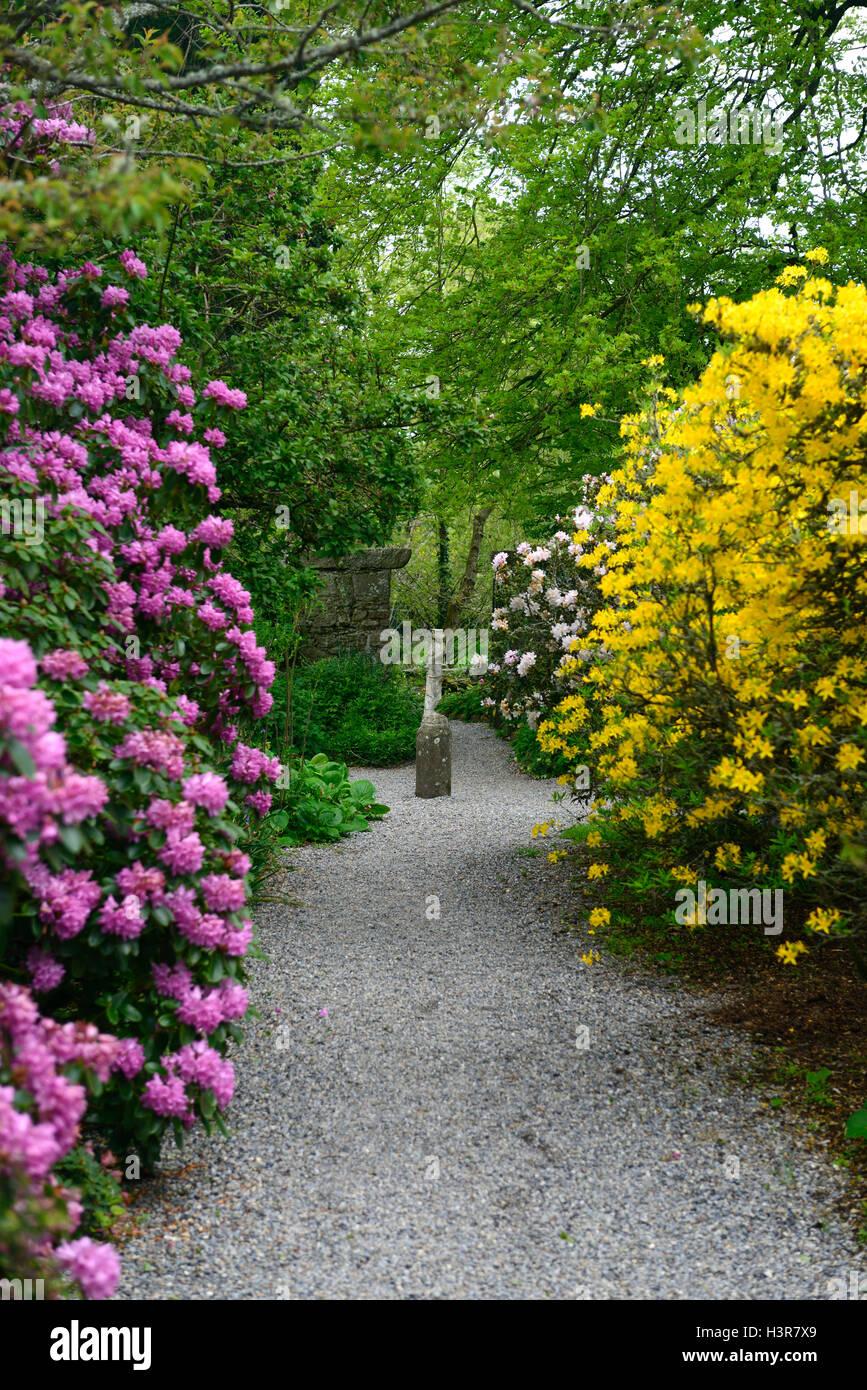 Rhododendron Pink Yellow Tree Trees Shrubs Flowers Flowering Shrub