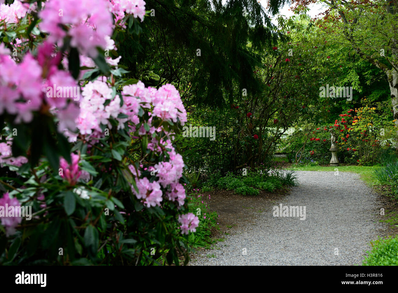 rhododendron Mrs EC Stirling tree trees shrubs flowers flowering shrub Altamont Gardens Carlow RM Floral - Stock Image