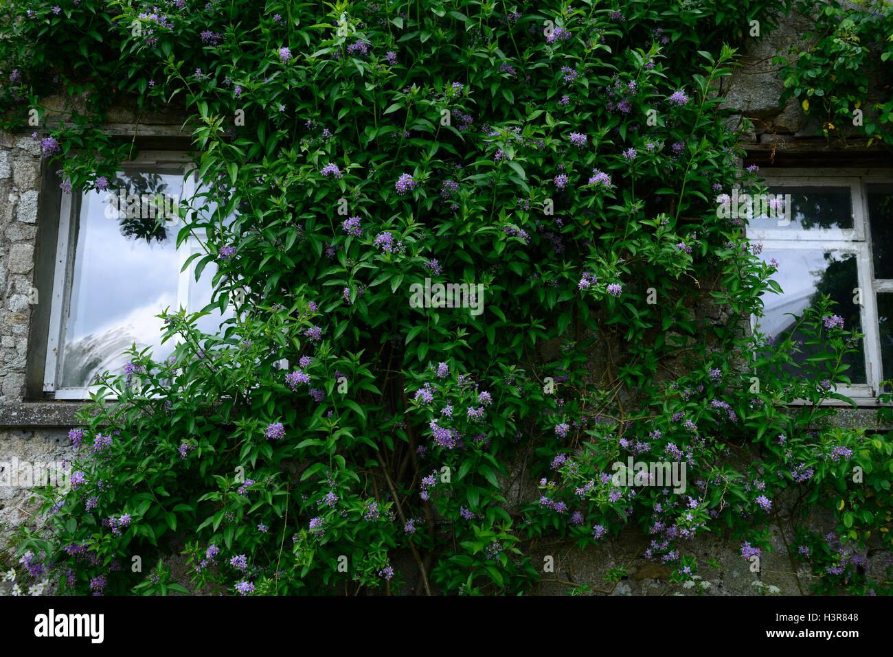 solanum crispum Glasnevin large scrambling semi-evergreen climbing shrub climber scrambler cover covering wall RM - Stock Image