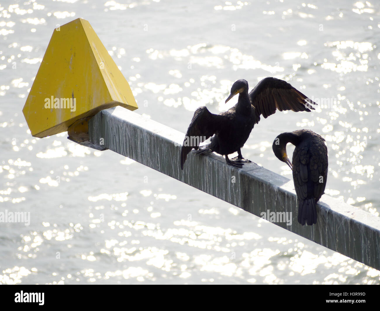 Two black gannets on a bridge across the Rhine in the city center of Cologne, Germany - Stock Image