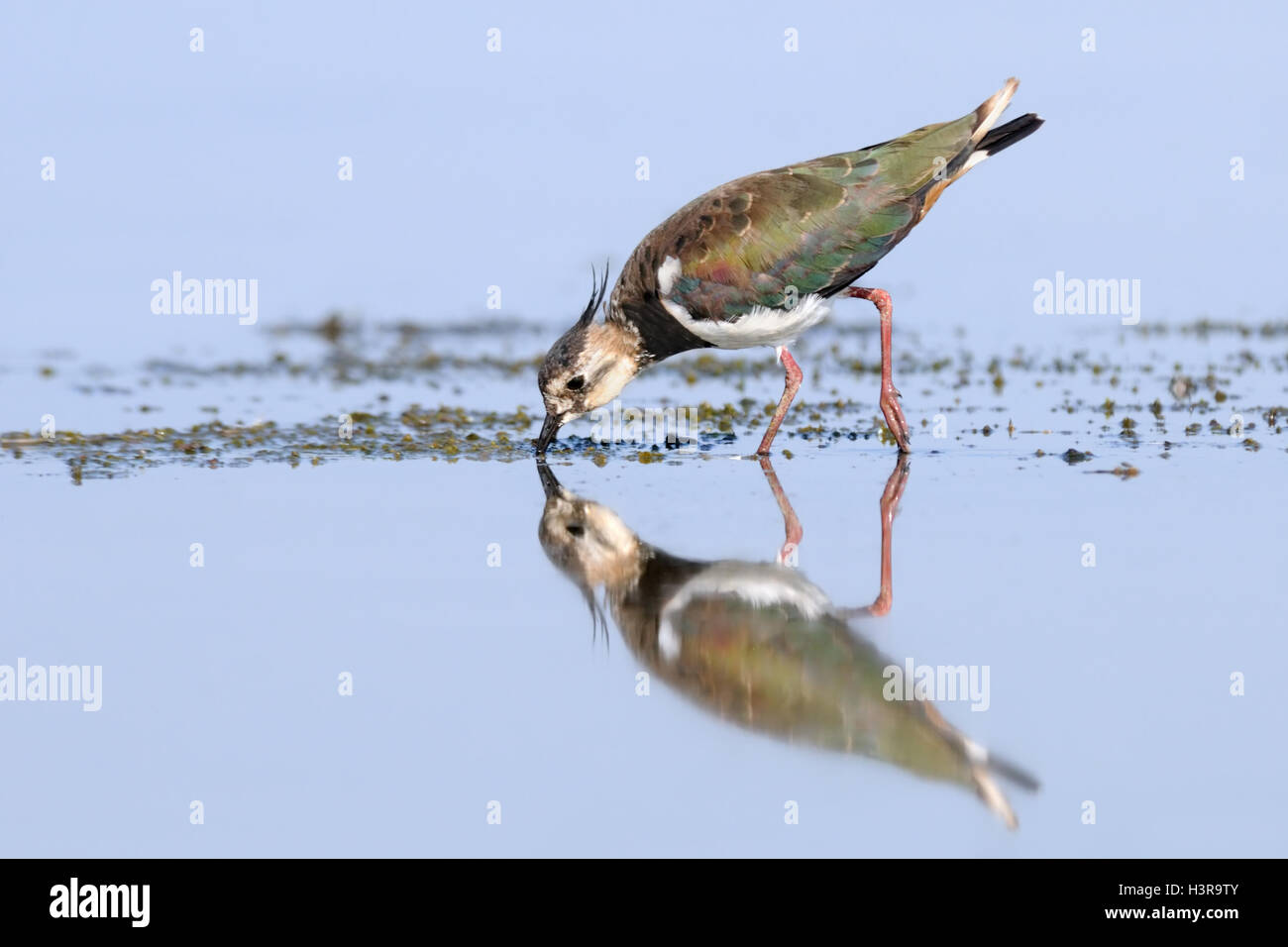 Reflected Northern Lapwing (Vanellus vanellus) feeding at Manych lake. Kalmykia, Russia - Stock Image