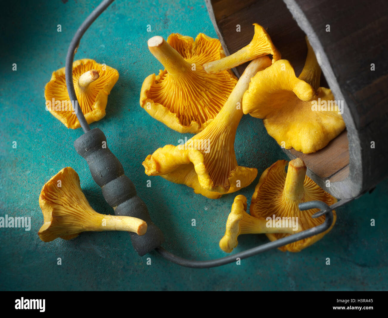 Fresh picked wild  organic chanterelle or girolle Mushrooms (Cantharellus cibarius) Stock Photo