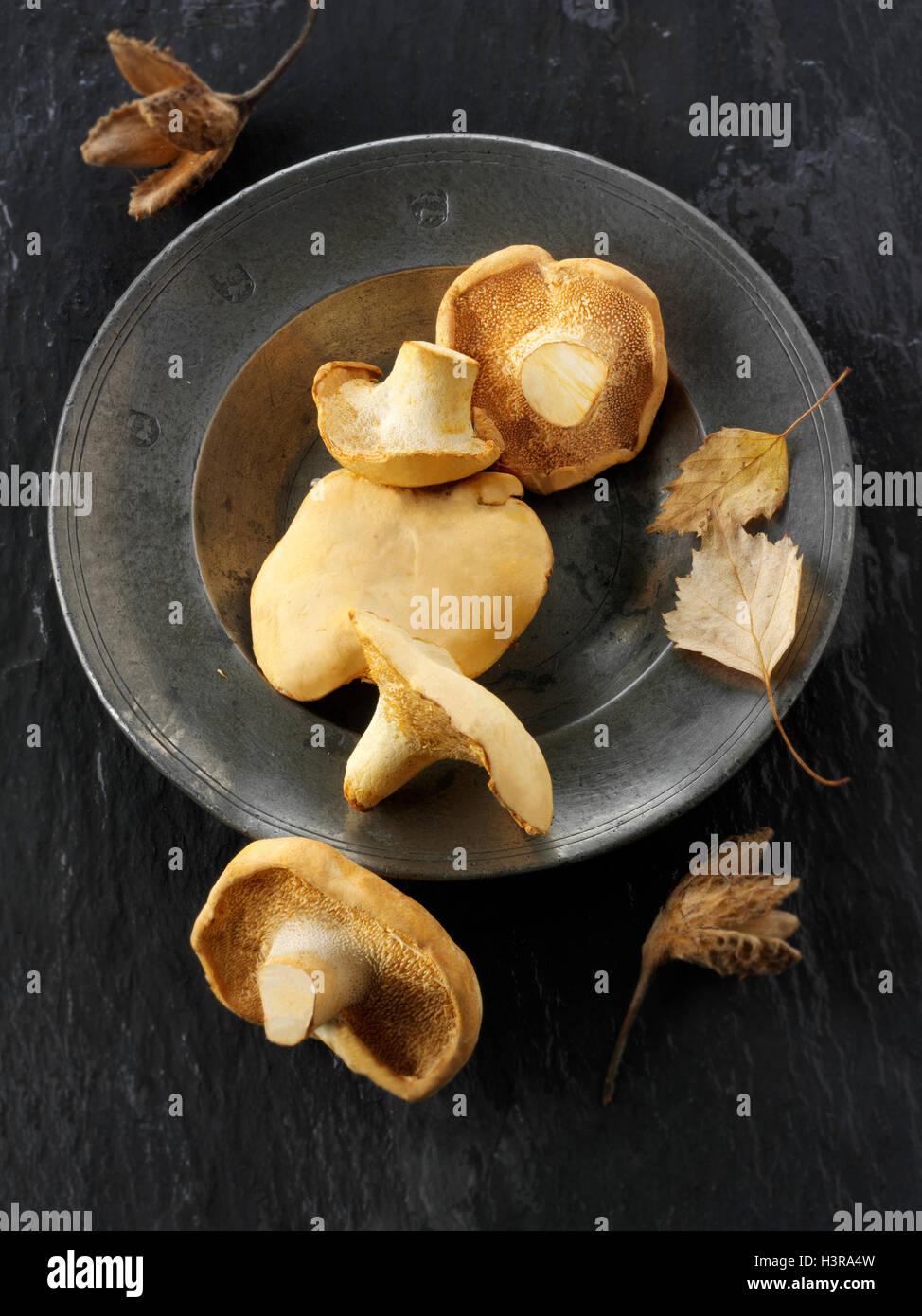Fresh picked wiild organic Pied de Mouton Mushrooms (hydnum repandum) or hedgehog mushrooms Stock Photo