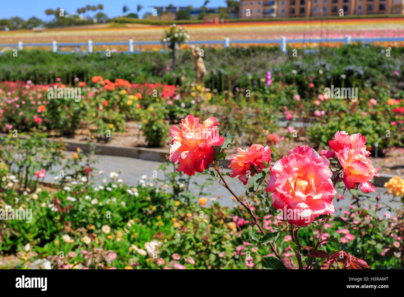The Beautiful Flower Fields At Carlsbad, California   Stock Image
