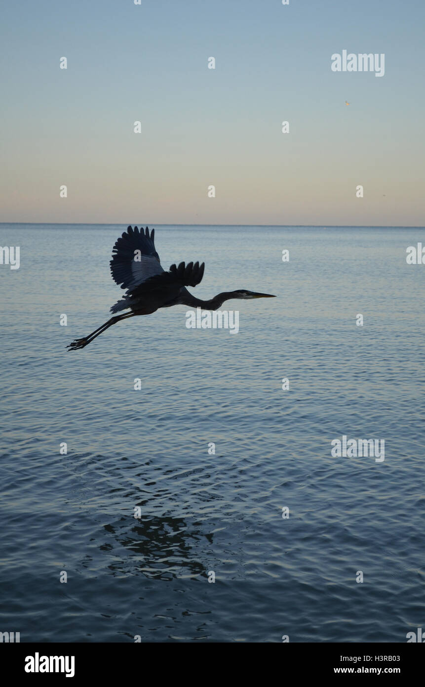 Great blue heron with his wings extended over the water. - Stock Image