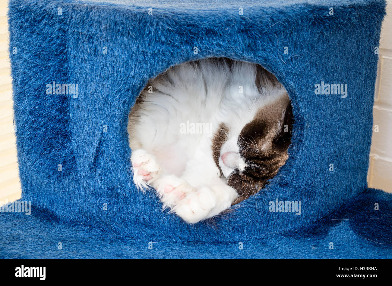 Ragdpll cat sleeping inside a pet's cave on a climbing frrame indoors - Stock Image