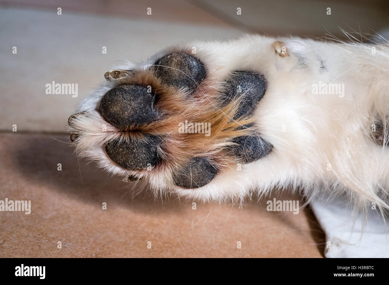 Underneath a dog's front paw showing toes and pads - Stock Image