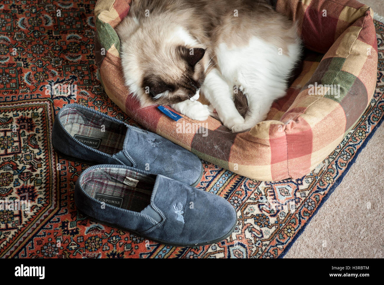 Ragdoll cat sleeping in a bed beside owners slippers - Stock Image