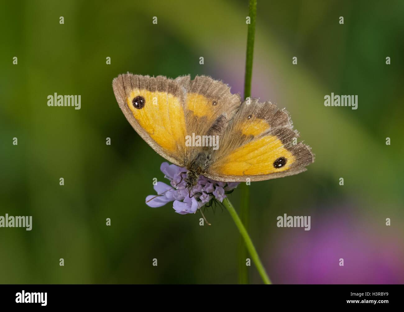 Female Gatekeeper butterfly (Pyronia tithonus) on scabious flower - Stock Image