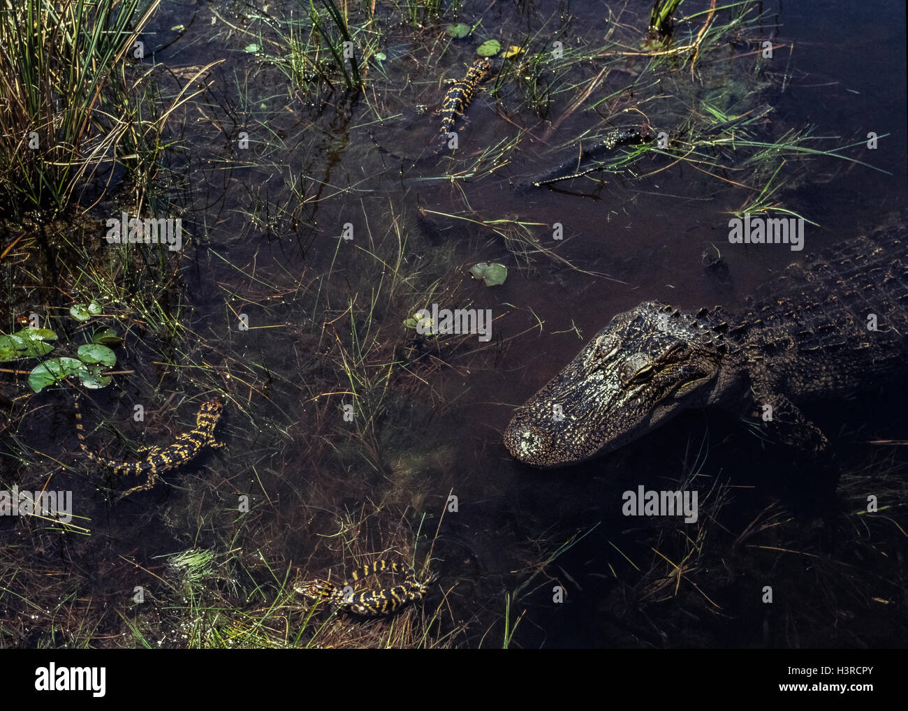 Three newborn baby American alligators stay close to their mother in Everglades National Park in Florida, USA. Baby - Stock Image