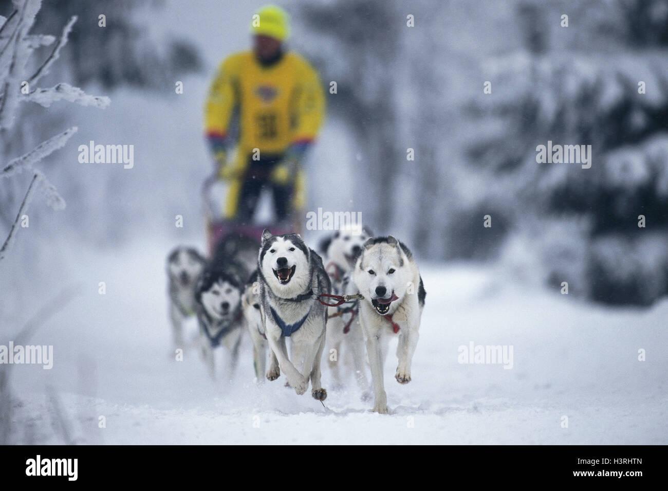 Dog slide races, dog motorcycle combination, Siberian huskies - Stock Image