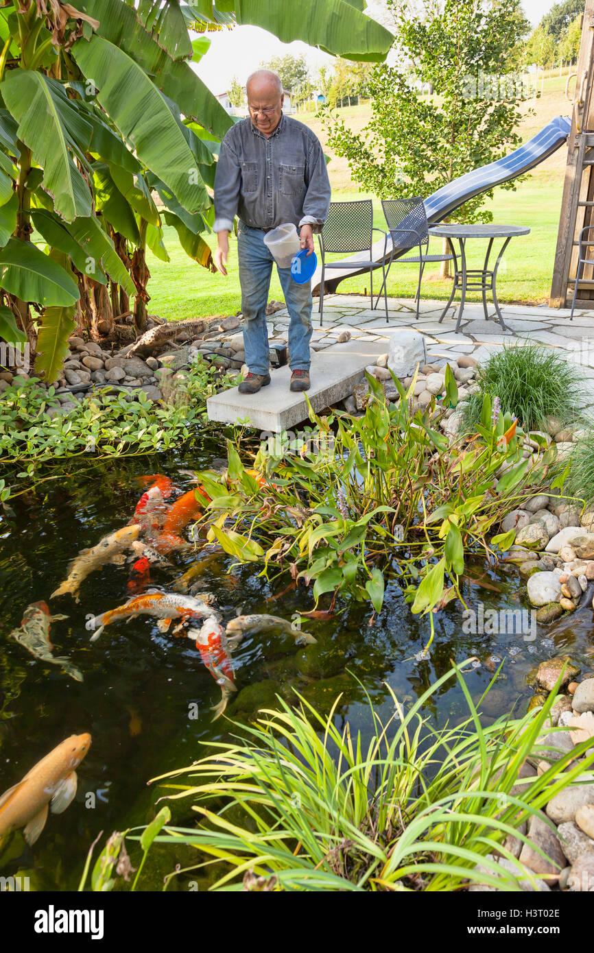 Backyard Pond In Southern Germany Owner Feeding His Koi Fish Stock Photo Alamy