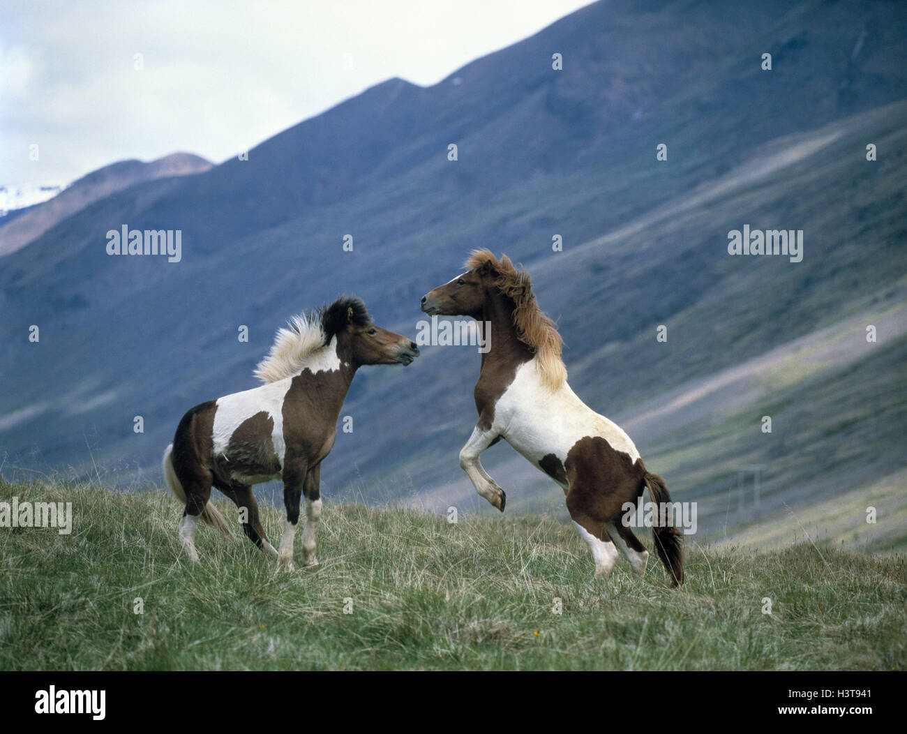 Iceland horses, stallions, two, fight animals, mammals, horses, ponies, hoofed animals, benefit animals, Einhufer, - Stock Image