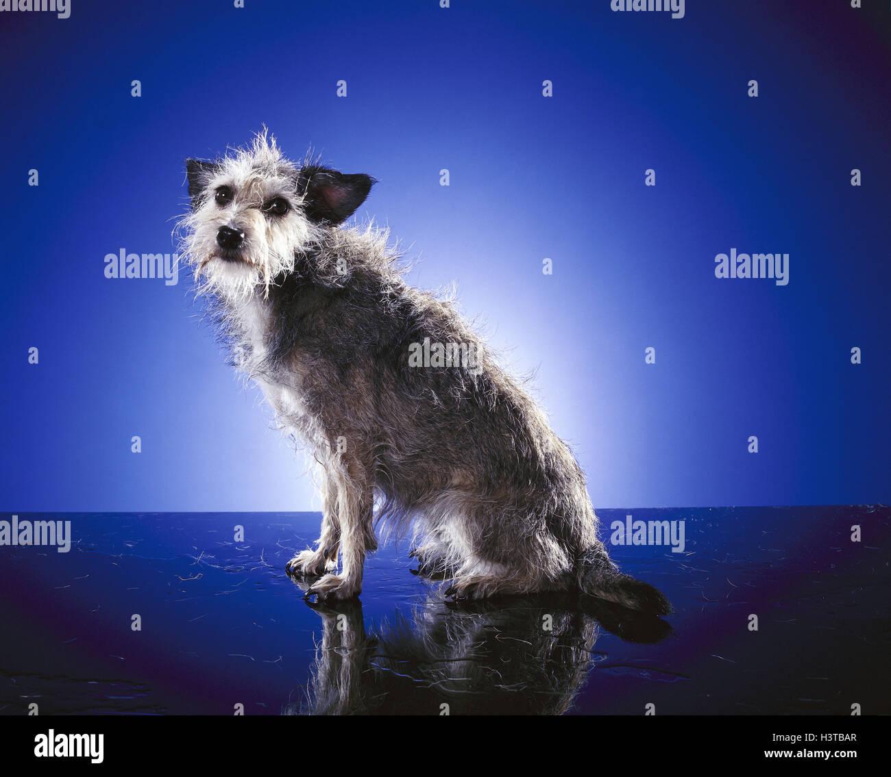 Hybrid dog, unkemptly mammal, doggy, Canidae, pet, hybrid, dog, pet dog, sit, fur, damp, studio - Stock Image