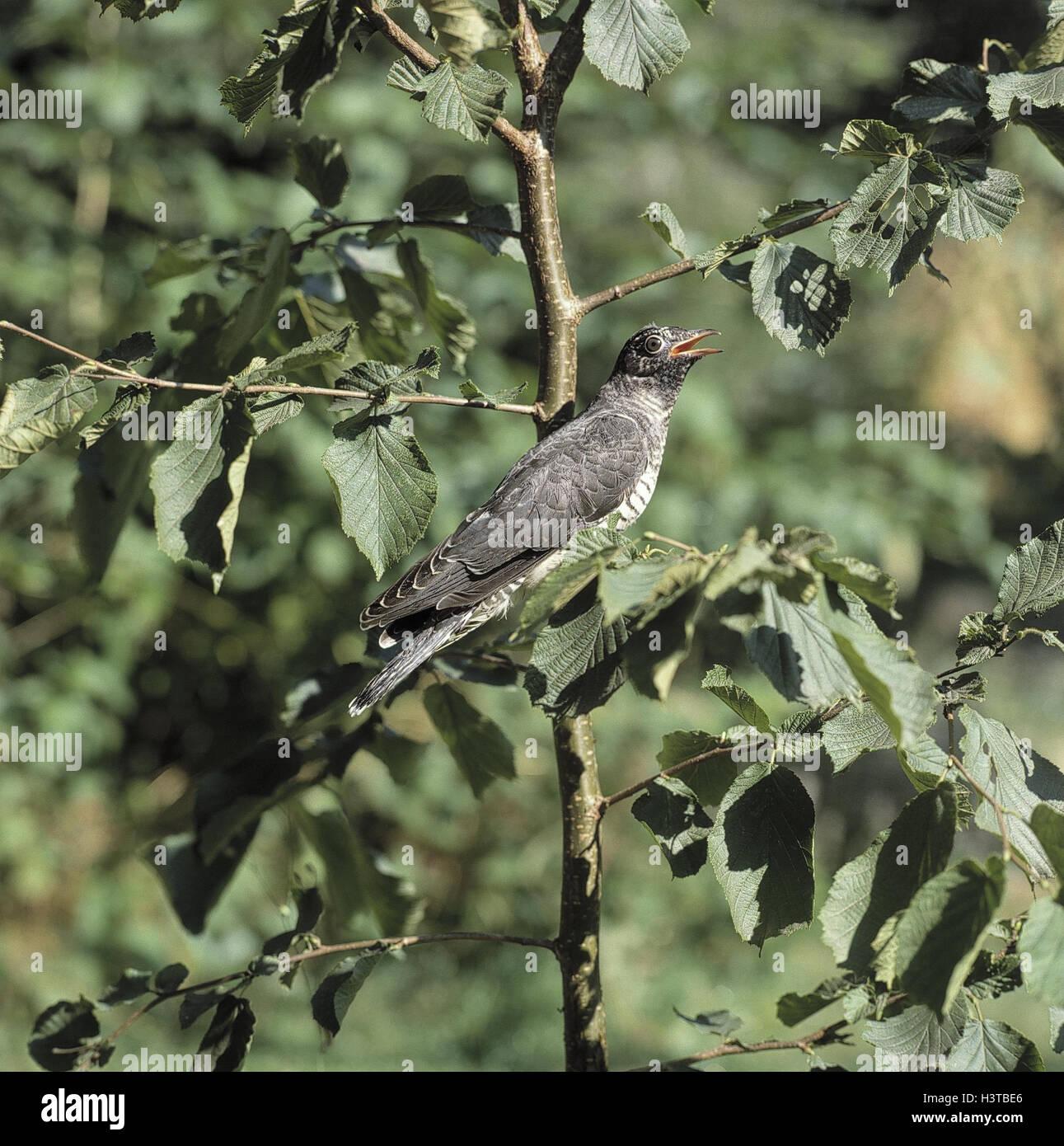 Cuckoo, Cuculus canorus, animal, animals, bird, birds, bird passage, birds passage, brood parasitism, brood parasite, - Stock Image