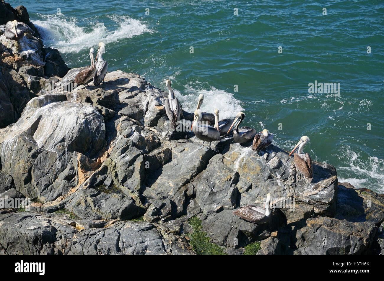 Pelicans, Vina del Mar, Chile - Stock Image