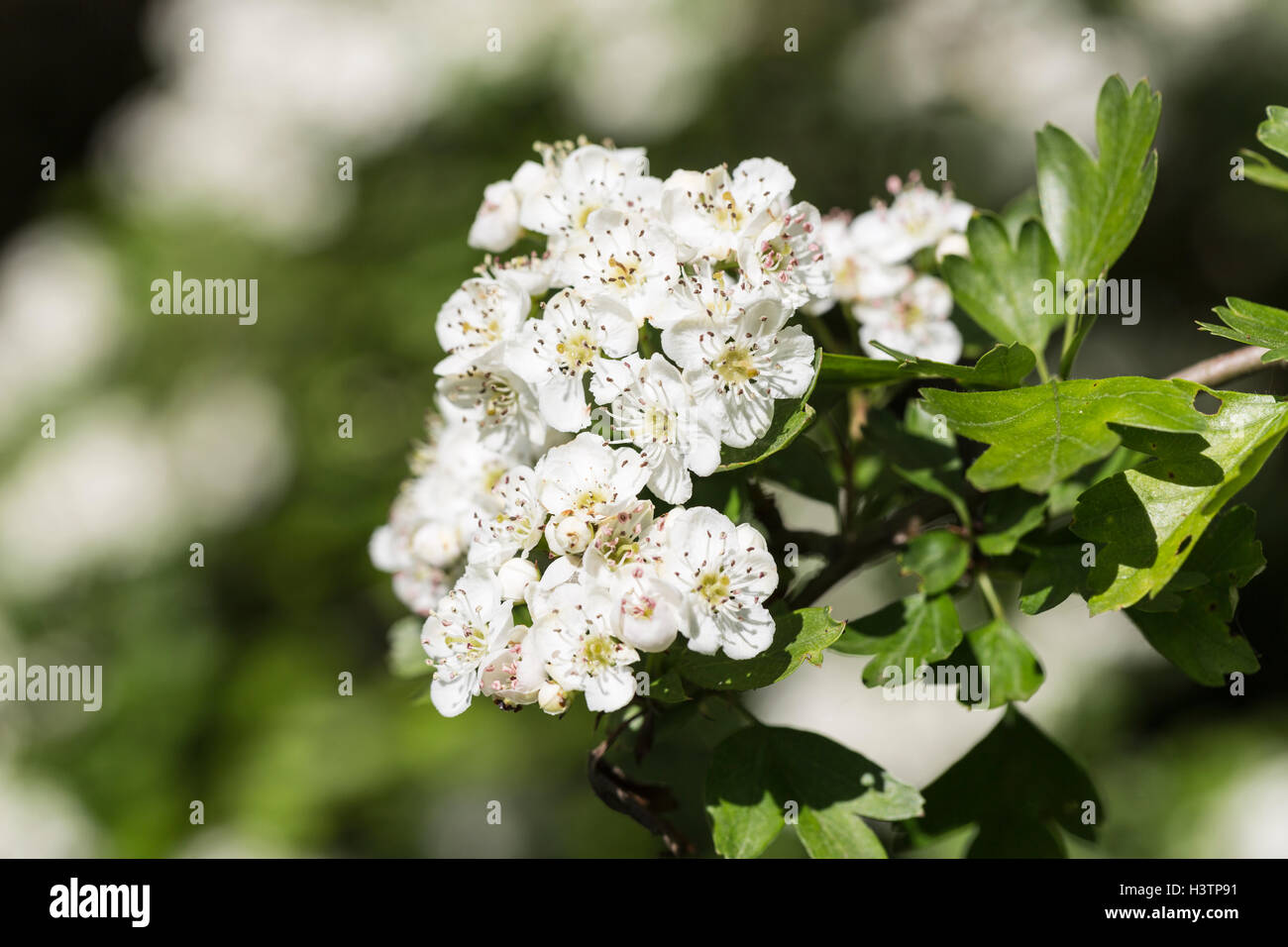 Hedgerow flowers spring uk stock photos hedgerow flowers spring uk hawthorn or may tree crataegus white flowers in spring surrey uk mightylinksfo