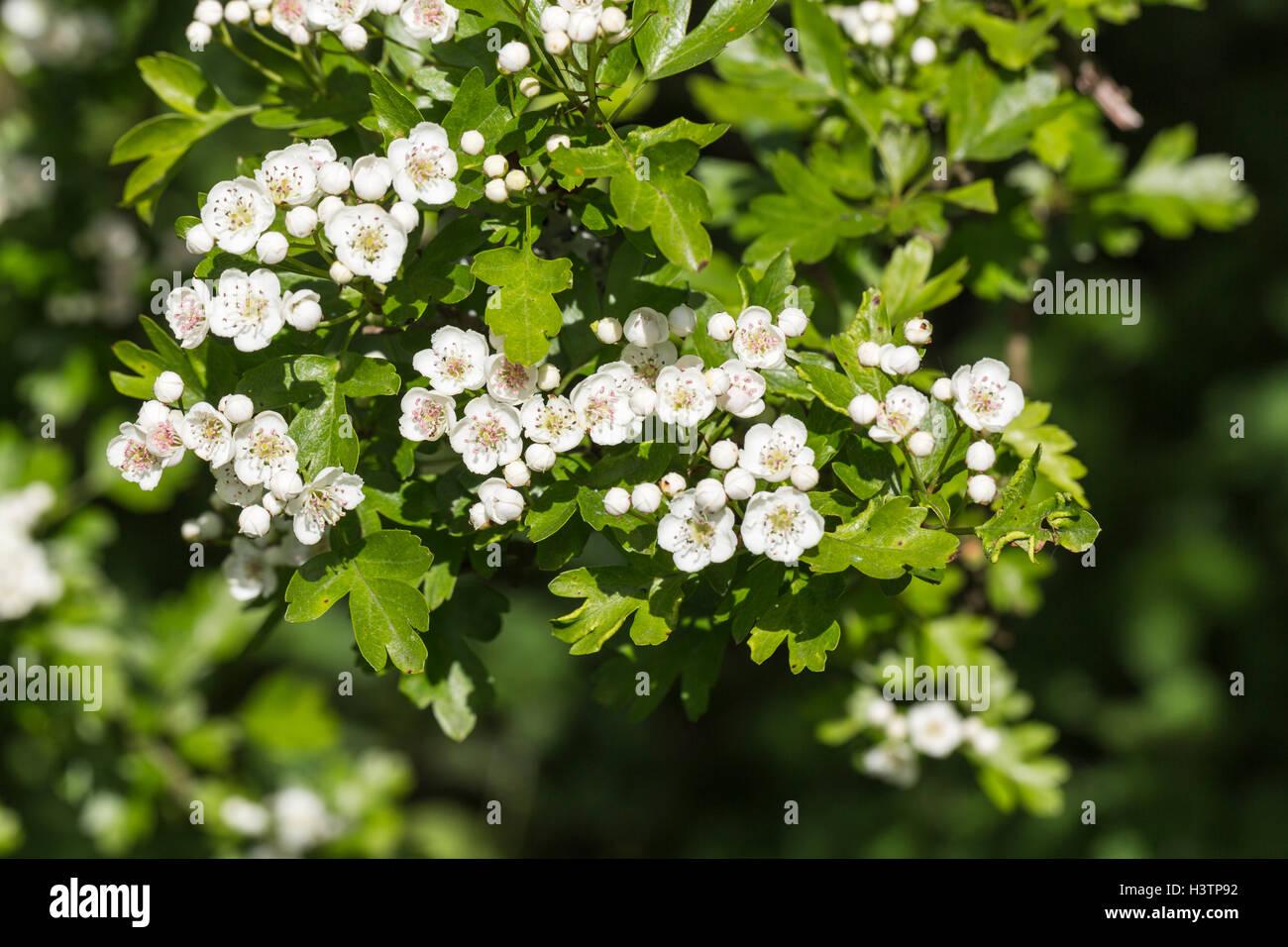 Hawthorn or may tree crataegus white flowers in spring surrey hawthorn or may tree crataegus white flowers in spring surrey uk mightylinksfo Choice Image