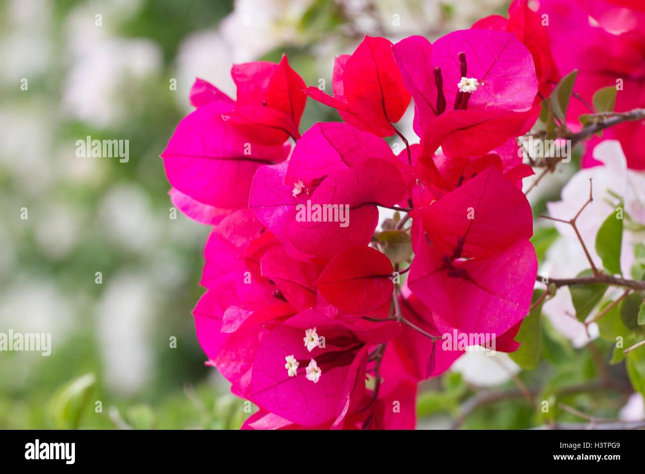 Bright colors bougainvillea paper flowers. Violet bush Stock Photo ...