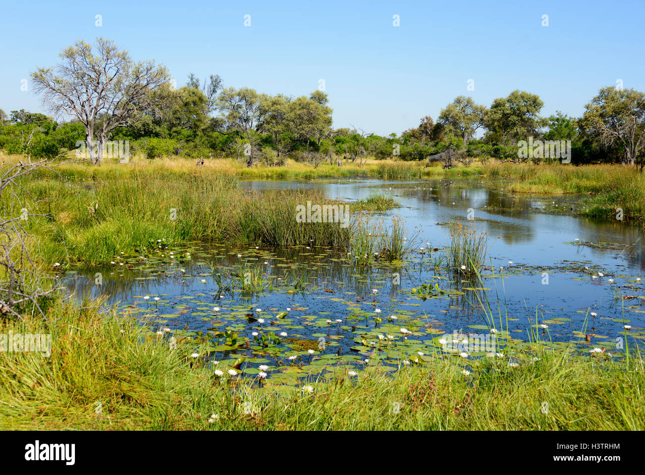 Khwai River with water lilies, near Mababe Village, Botswana - Stock Image