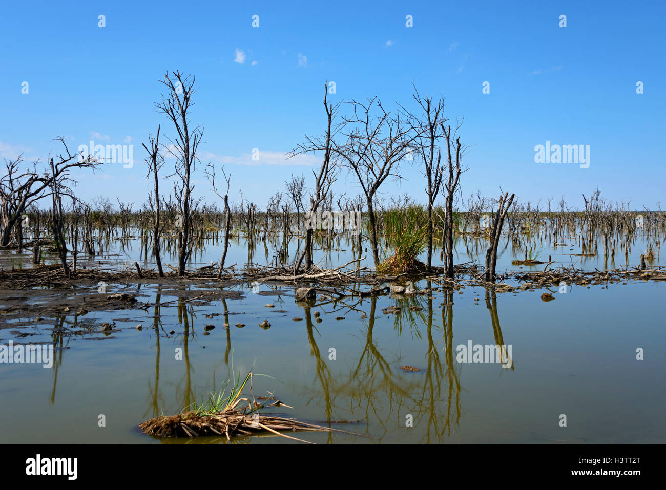 Dead trees in the Lake Ngami, Botswana - Stock Image