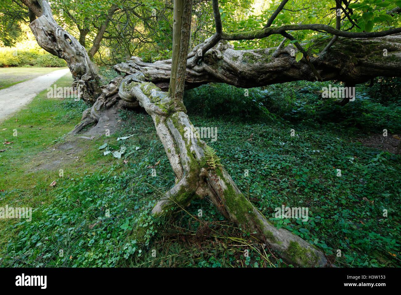 Trompetenbaum im Schlosspark Herten, Catalpa bignonioides, Ruhrgebiet, Nordrhein-Westfalen Stock Photo