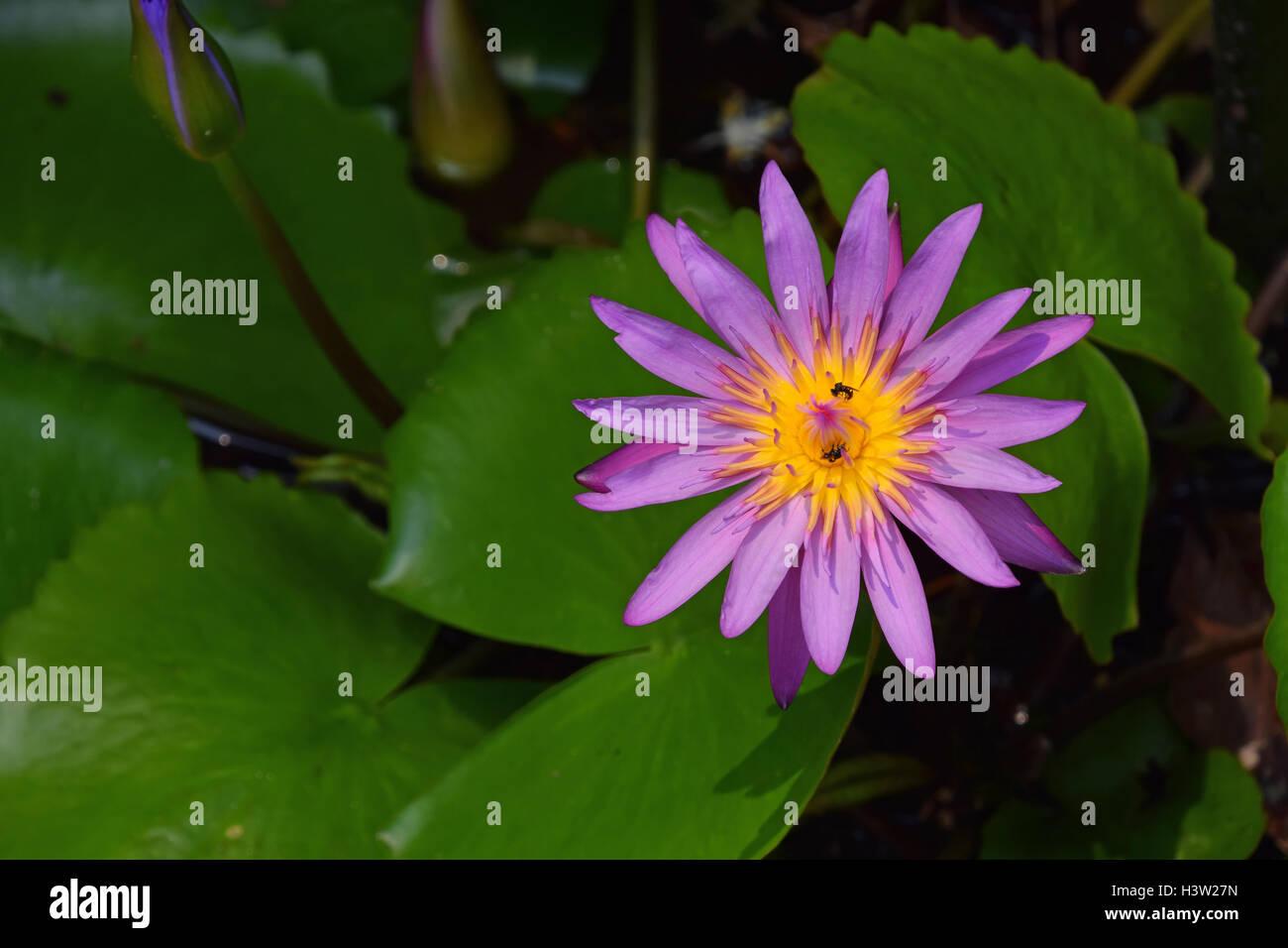 One Purple Flower Of Nymphaea Caerulea Aka Blue Lotus Flower Or