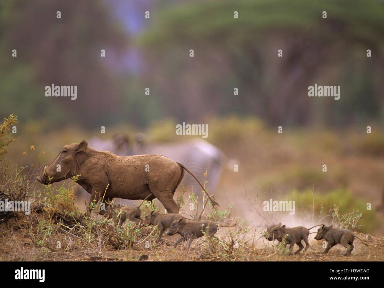 Common warthog (Phacochoerus africanus) - Stock Image