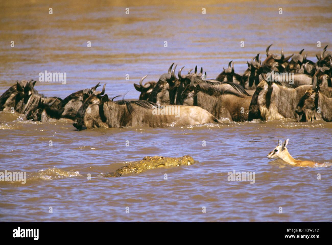 Nile crocodile (Crocodylus niloticus) Stock Photo