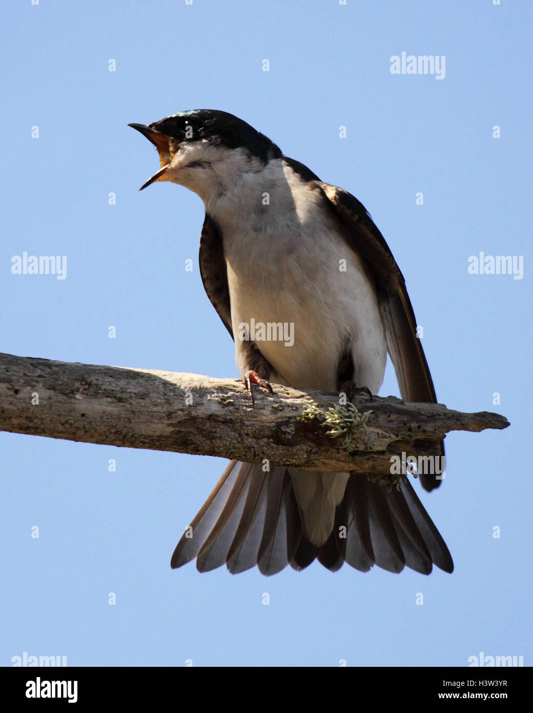 A Tree Swallow calling loudly. - Stock Image