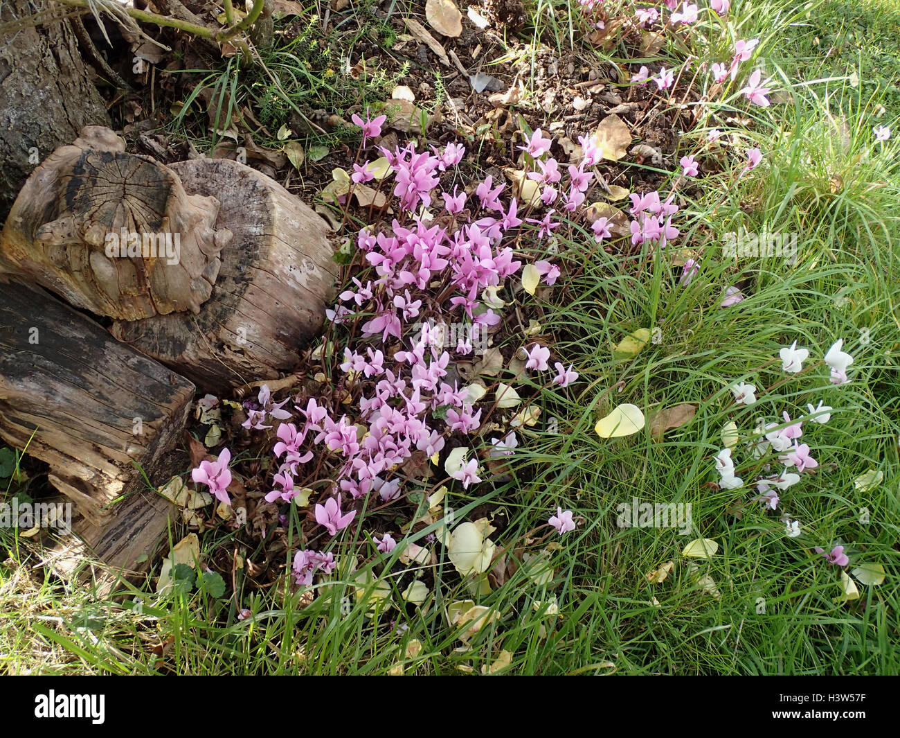 Naturalised ivy-leaved cyclamen (Cyclamen hederifolium) by the base of a tree at the edge of a lawn, with old logs - Stock Image