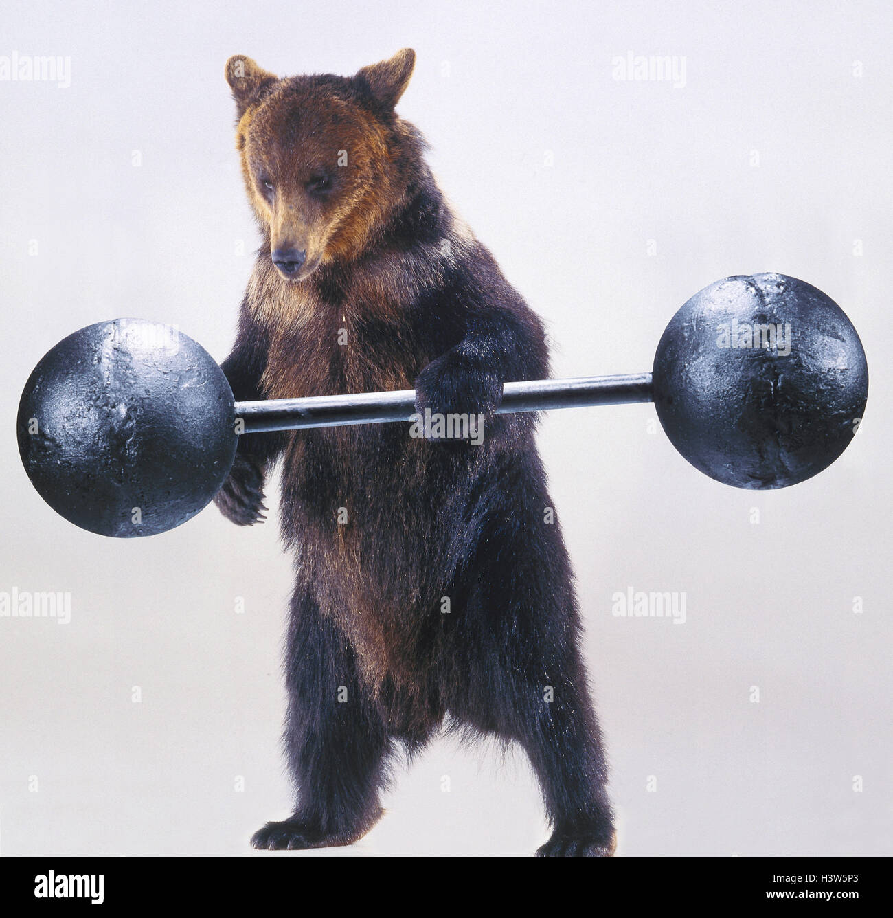 Brown bear, dumbbell, 'weightlifters' Wildtier the year 2005 mammals, mammal, predators, predator, great - Stock Image