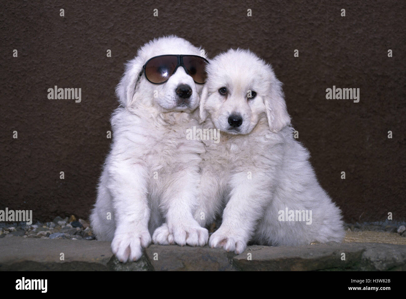 Kuvasz Puppies Hungarian Shepherds Dogs Two Sit Sunglasses