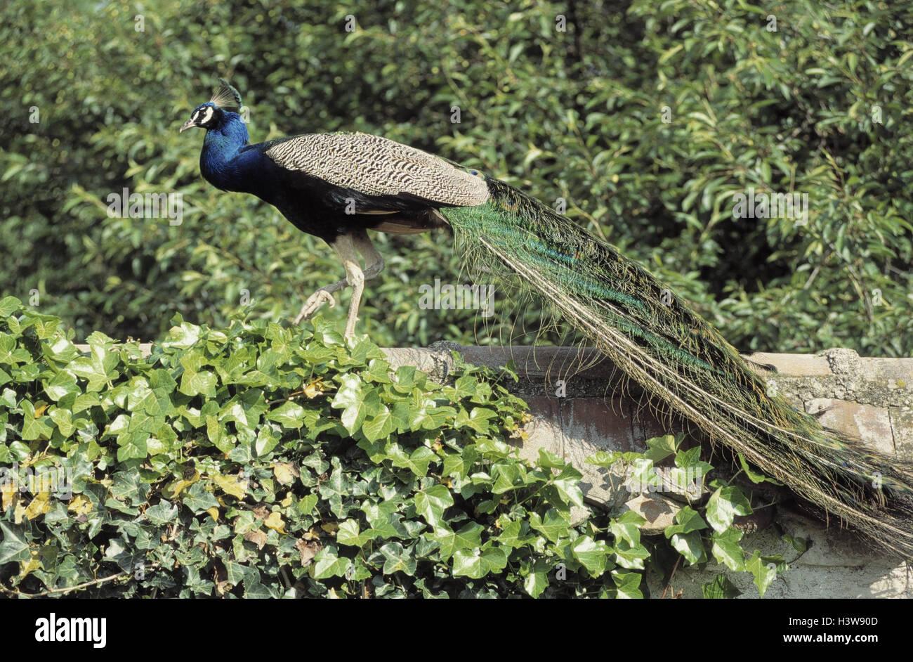 Farm, blue peacock, Pavo cristatus defensive wall, little man, birds, bird, gallinaceous birds, Galliformes, Phasianidae, - Stock Image