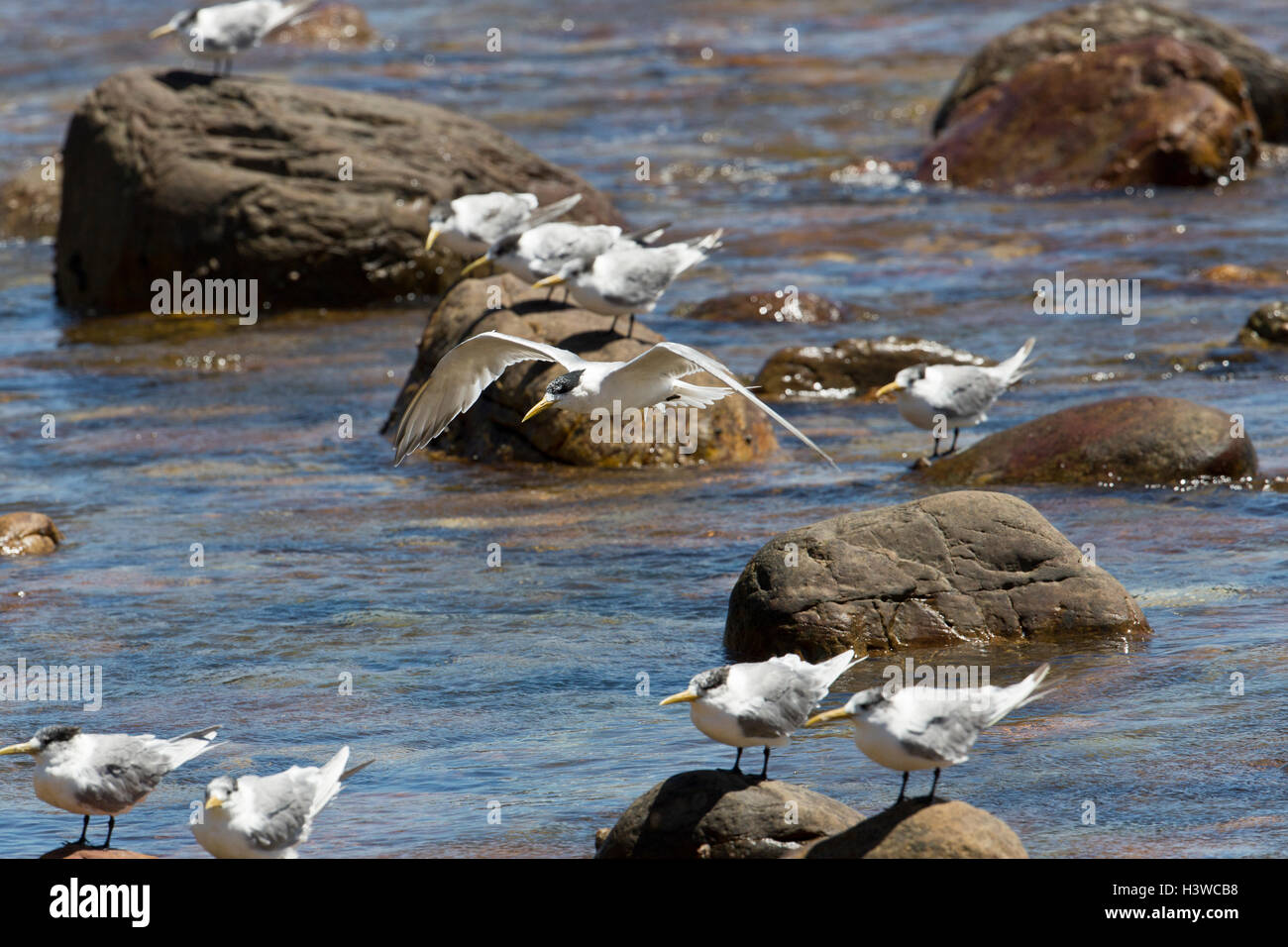 Swift Terns, Sterna bergii, on rocks at Cape Town, South Africa - Stock Image