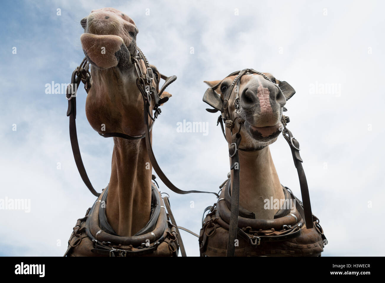 Two Draft Horses - Stock Image