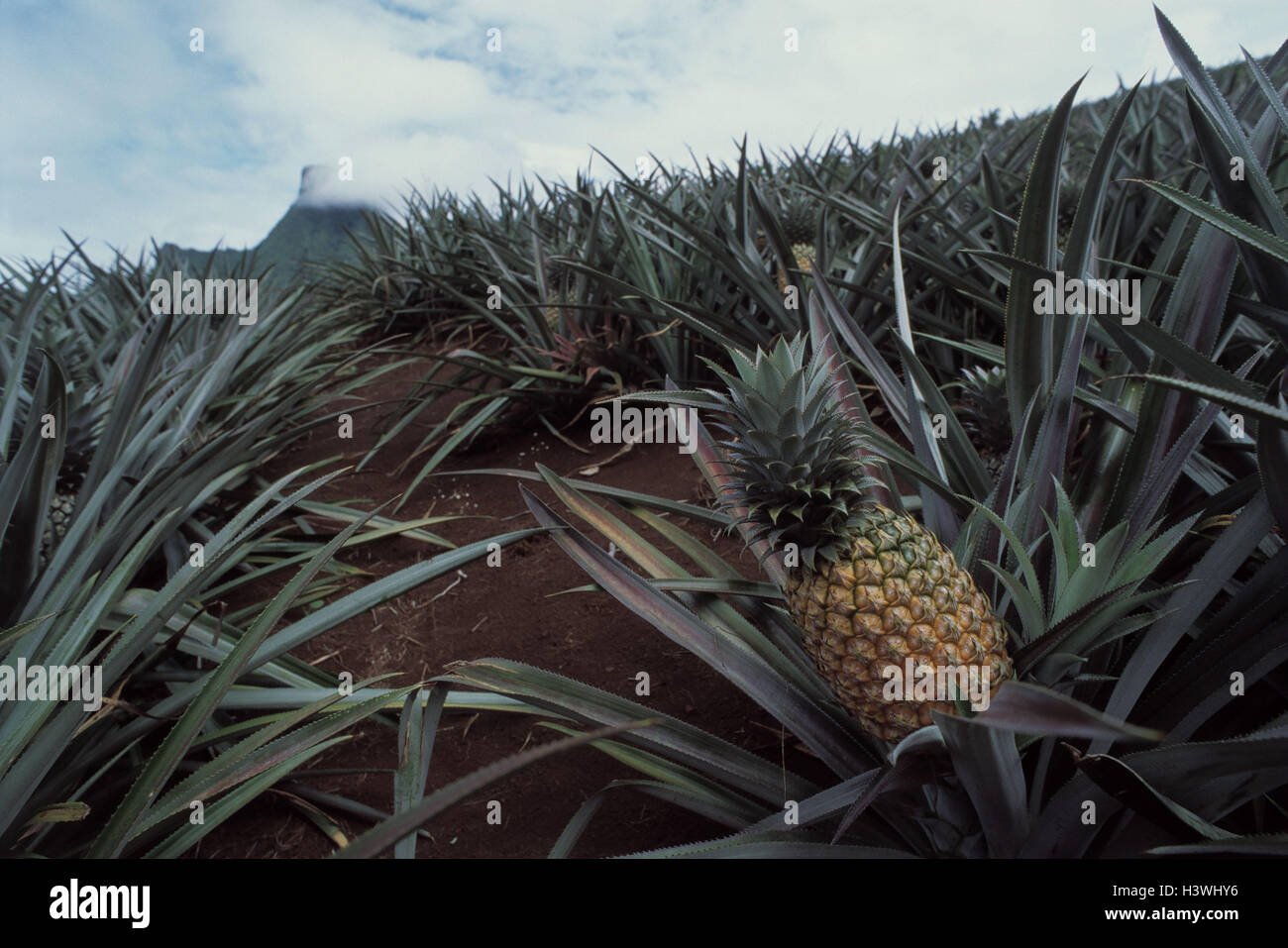 French Polynesia, the Society Islands, island, Moorea, pineapple plantation the South Pacific, Polynésie Française, - Stock Image
