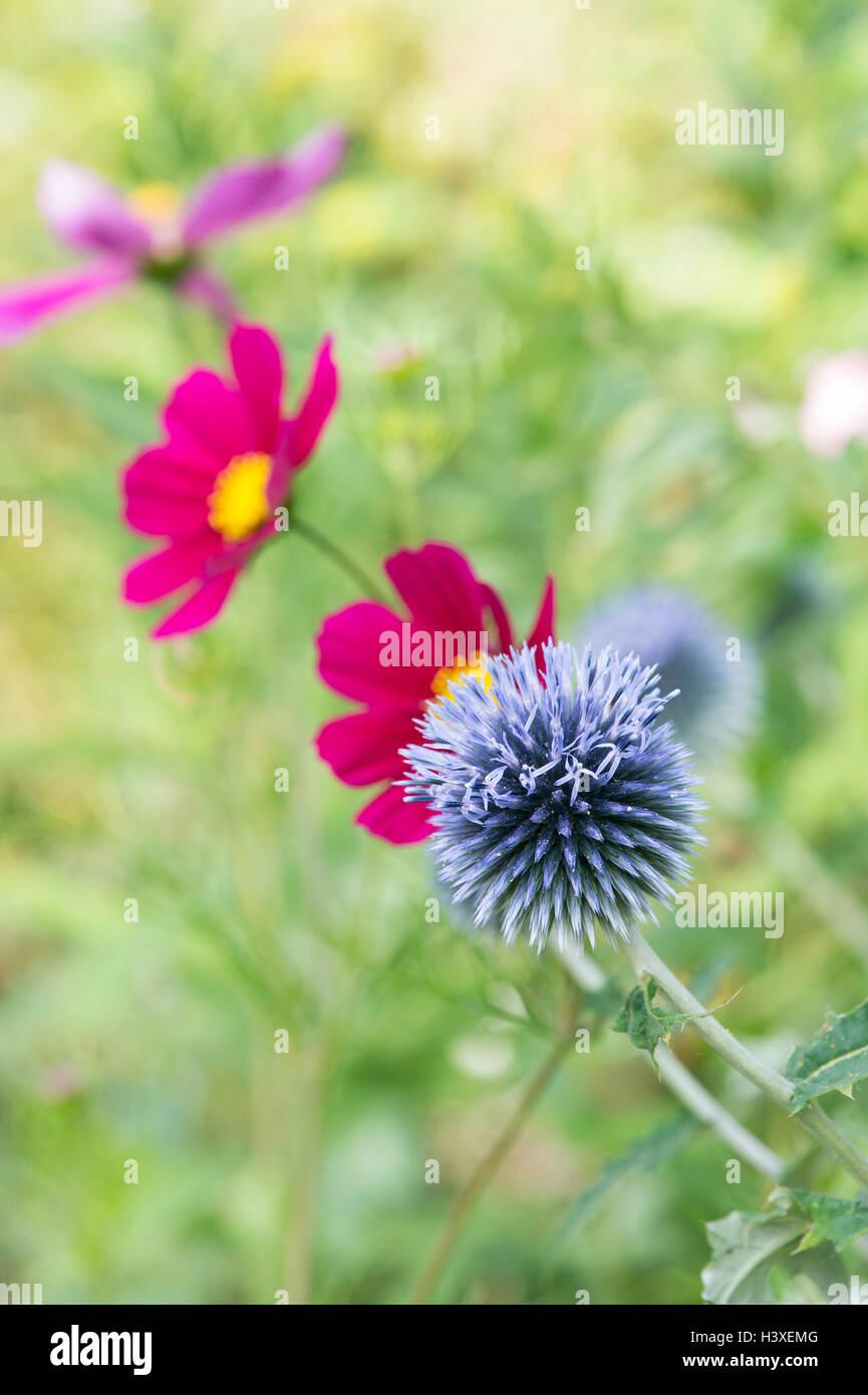 Cosmos Perennial Plants Perennial Stock Photos Cosmos Perennial