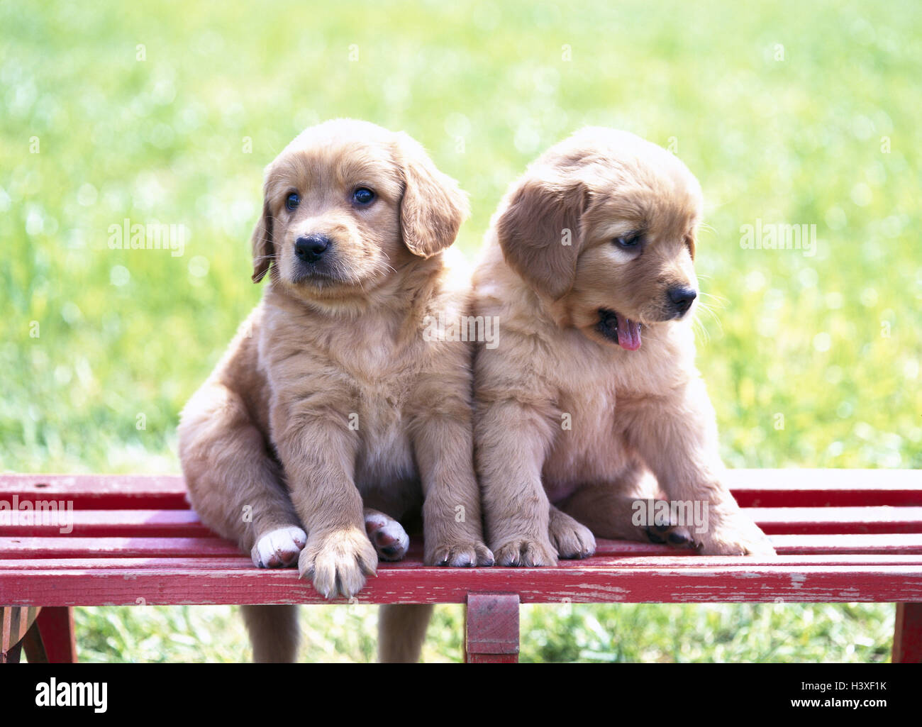 Wooden Bank Hovawart Hybrids Puppies Two Sit Animals Mammals
