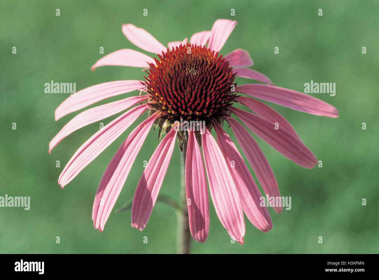 Medicinal plants, red solar hat, Echinacea purpurea, detail, blossom plants, medicinal plants, herbs, medicament Stock Photo
