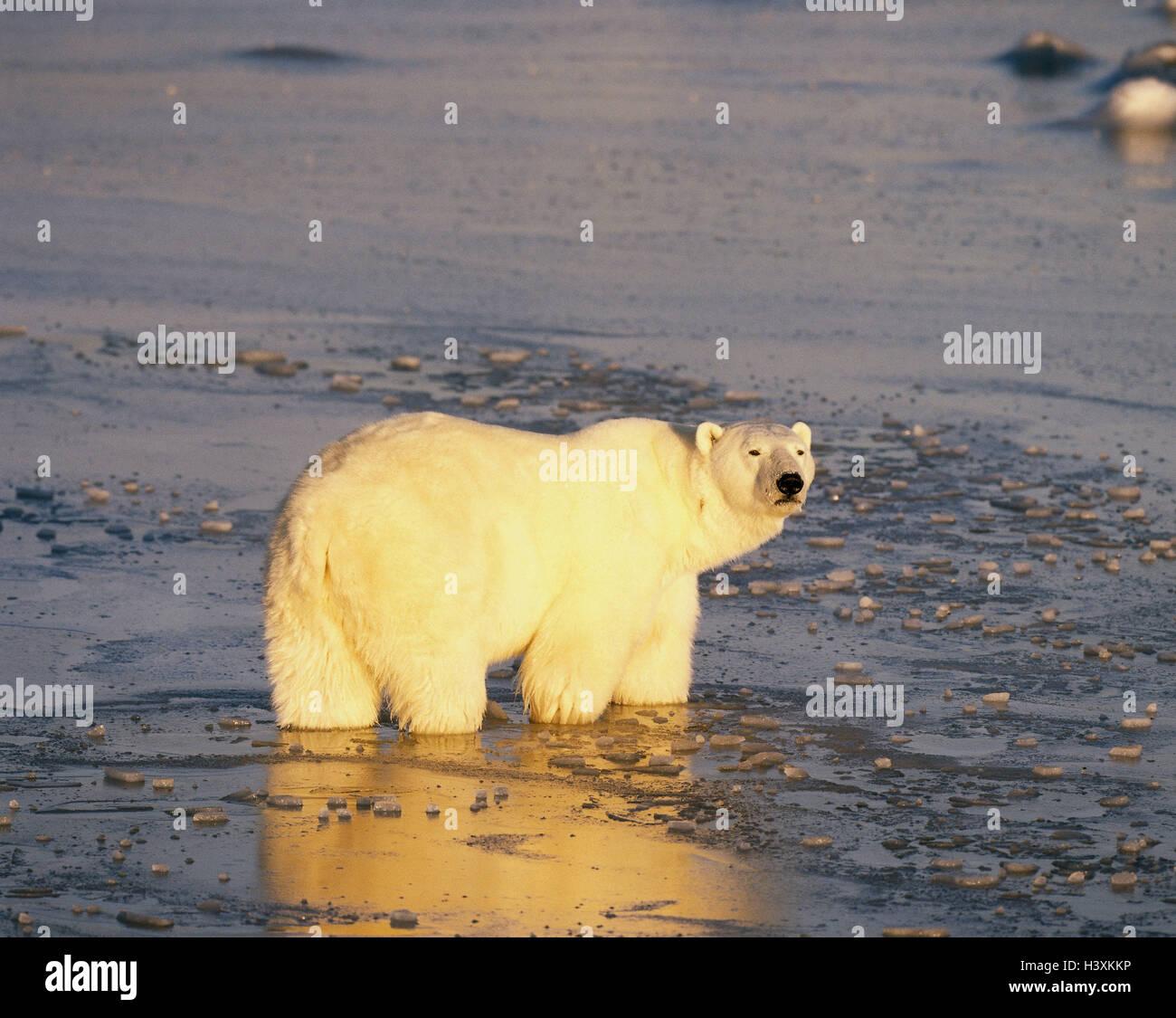 Canada, polar bear, Thalarctos maritimus, Hudson Bay, nature, scenery, animal, bear, Ursus maritimus, freedom, wild - Stock Image