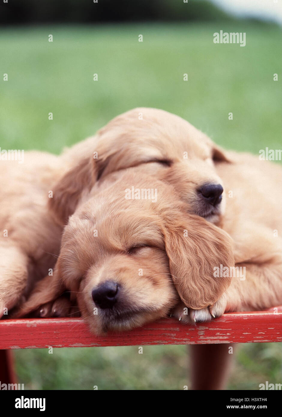 Wooden Bank Hovawart Hybrids Puppies Two Sleep Lie Outside
